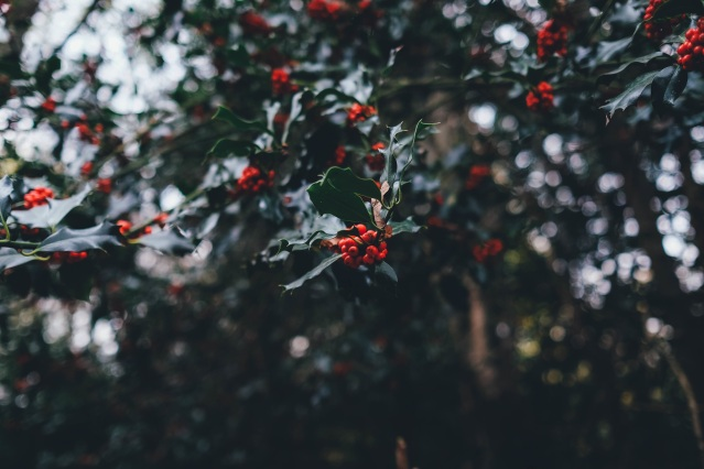 holly-berries-1082138