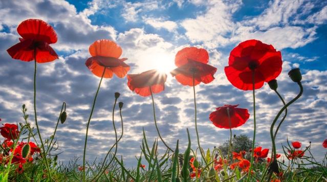 poppies-4291706